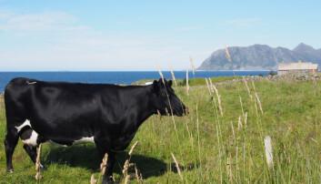Vestlandsk kumøkk kan gjøre stor nytte på Østlandet der det er kornproduksjon som dominerer og derfor lite husdyrgjødsel å spore. (Foto: Kathrine Torday Gulden)