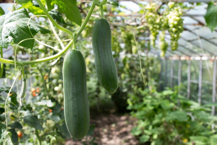 Agurkplanten er så heldig at den kan befrukte seg selv. (Foto: Kapa1966, Shutterstock, NTB scanpix)