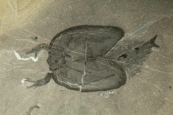 Fossilet er svært godt bevart. (Foto: Jean-Bernard Caron/Royal Ontario Museum)