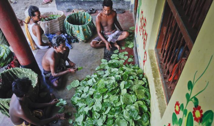 Bønder øst i India pakker betelblader som skal selges på markedet. (Foto: Vivek Prakash, Reuters, NTB scanpix)