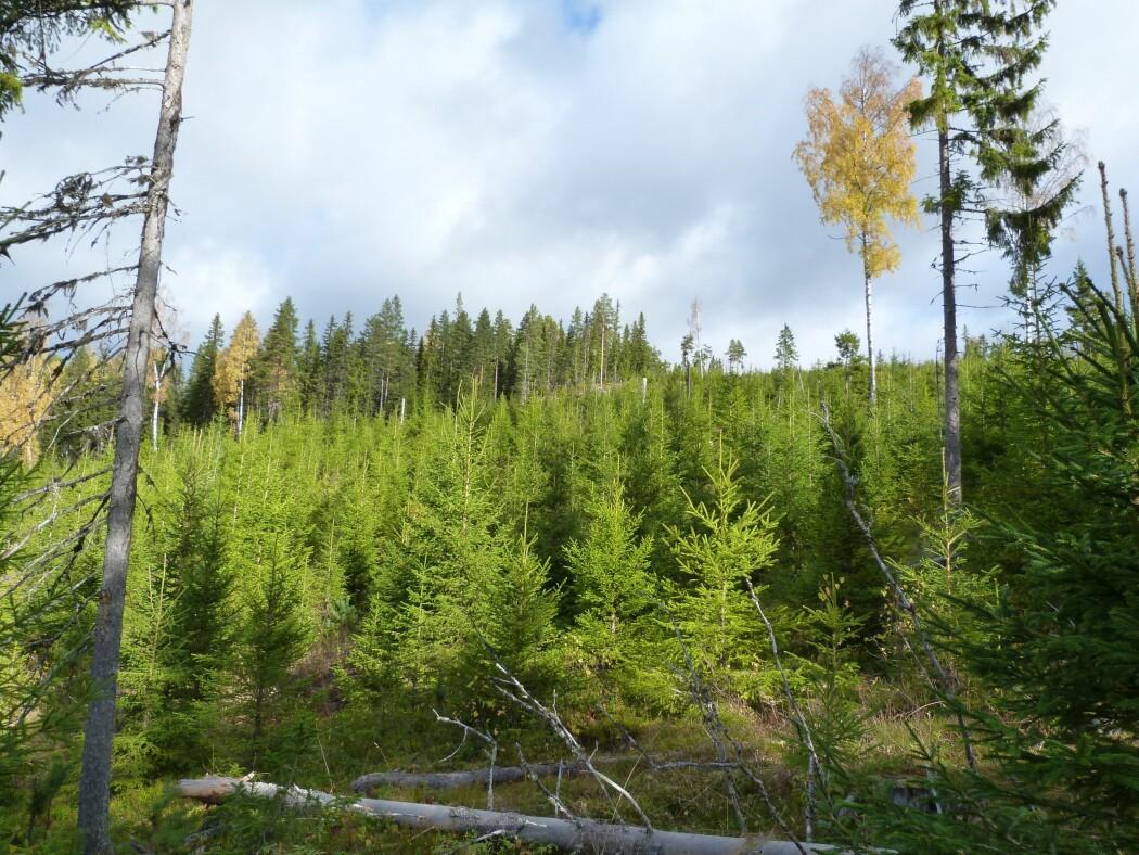 Disse trærne ved Koppang i Stor-Elvdal er blant åtte bevarte skogsområder med et unikt arvemateriale. (Foto: Kjersti Bakkebø Fjellstad)