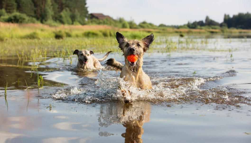 I følge en ny studie er det genetisk sett forskjell på hunderaser fra ett kontinent til et annet - noe som ikke burde være mulig om kriterier for avl var strengt overholdt. (Foto: Kazantseva Olga / Shutterstock / NTB scanpix)