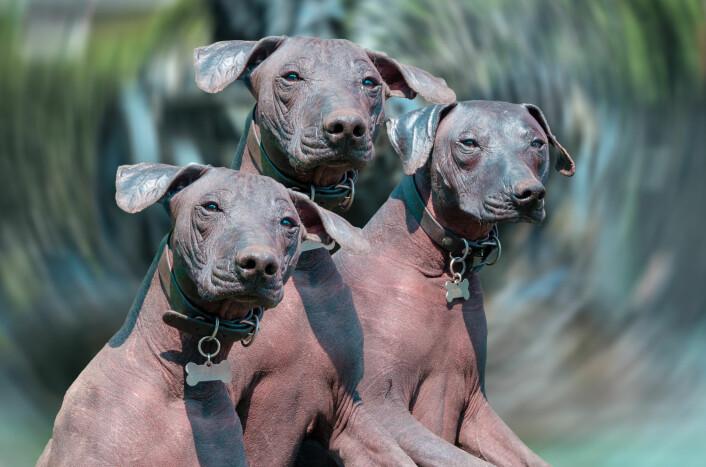 Xoloitzcuintle omtales gjerne som xolo eller meksikansk nakenhund. Rasen har siden 1956 vært offisielt anerkjent som Mexicos nasjonalhund. (Foto: AGCuesta / Shutterstock / NTB scanpix)