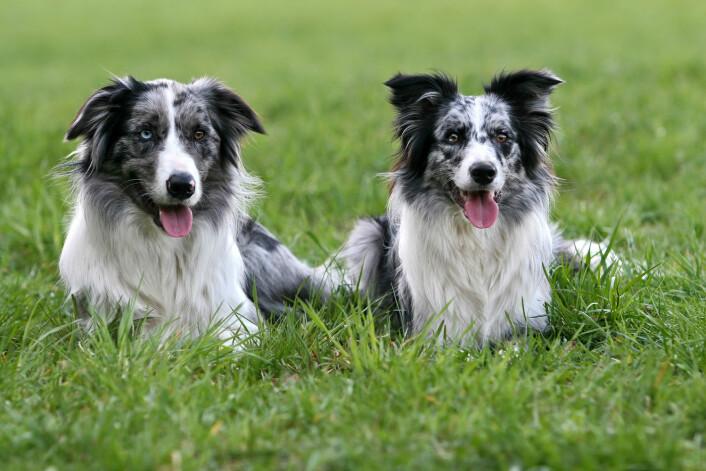 Gjeterhunder har oppstått flere forskjellige steder i verden og på flere forskjellige tidspunkt. Mennesker har med andre ord uavhengig av hverandre flere ganger i historien tenkt at hunder var flinke til å holde vakt. (Foto: Andraž Cerar / Shutterstock / NTB scanpix)