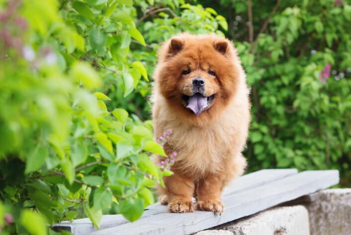 Chow chow er en hunderase som stammer fra Kina, der den kalles songshi quan, som direkte oversatt betyr «løvehund». (Foto: otsphoto / Shutterstock / NTB scanpix)
