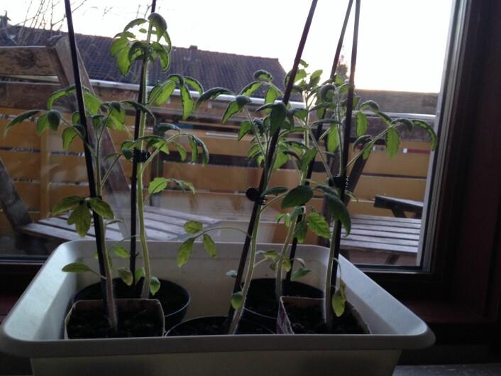 Tomatplanter som vokser i naturtypen Tørrlagt våtmark (T36). Foto: HAU