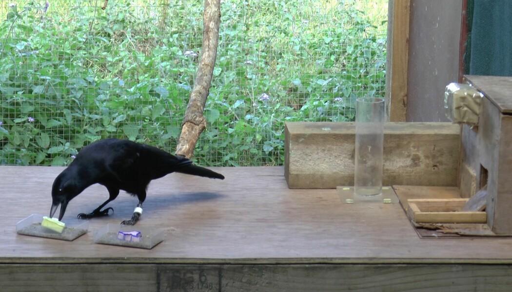 Her undersøker kråka om et objekt er tungt eller lett. (Bilde: Sarah Jelbert)
