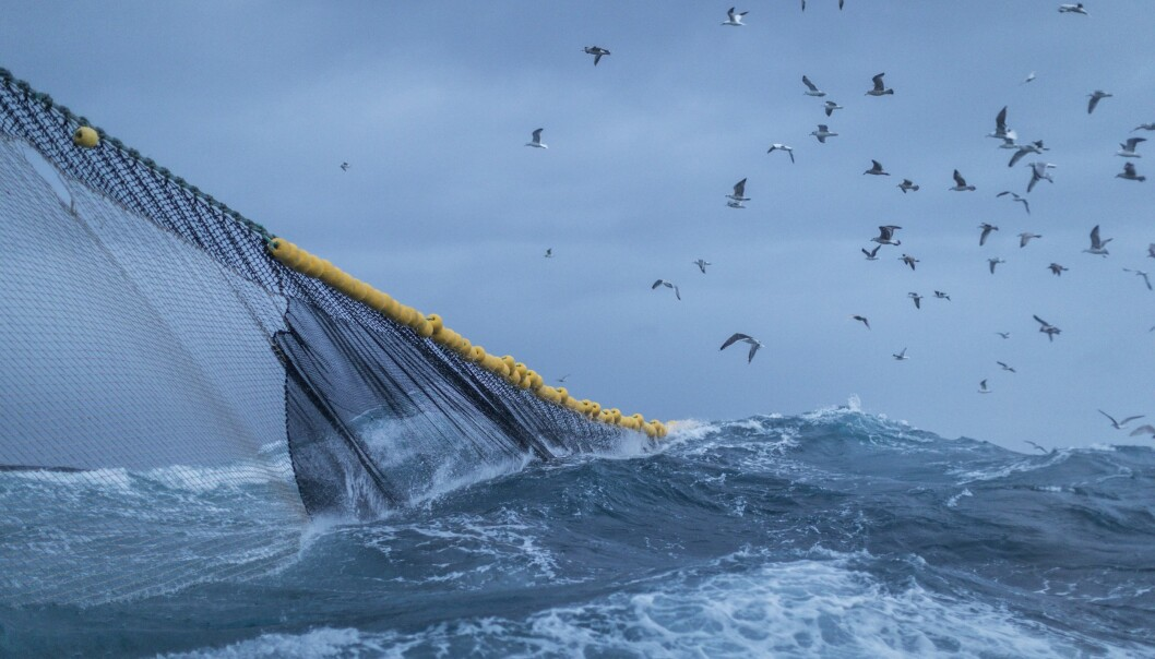 Forskere har analysert nivåene av kvikksølv i 8459 fisk fra hele norskekysten og helt opp til Svalbard. – De fleste av dem har lave nivåer av kvikksølv, sier forsker. (Illustrasjonsfoto: Paolo Cipriani / Havforskningsinstituttet)