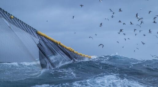Disse tre norske fiskeartene hadde høye kvikksølv-nivå