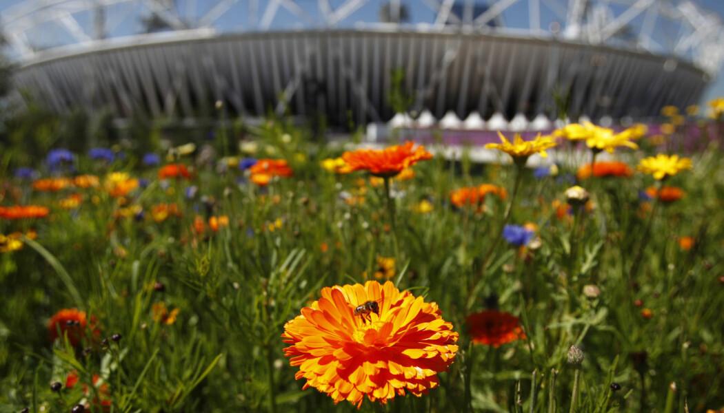 En bie sitter på en blomst utenfor den olympiske stadion i London. (Illustrasjonsbilde: REUTERS/Toru Hanai)