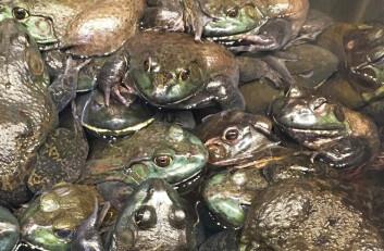 Ferskere får du det ikke. Levende er best for asiater, og frosk er også sjømat. (Foto: Gøril Voldnes, Nofima)