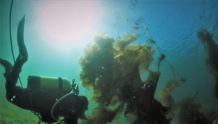 Tareskogane, som danna livsgrunnlaget for ein myriade av algar, blautdyr, krepsdyr, fisk, fugl og sjøpattedyr, er no på veg attende, også til Helgelandskysten, etter å ha vore borte i fleire tiår. (Foto: NIVA)