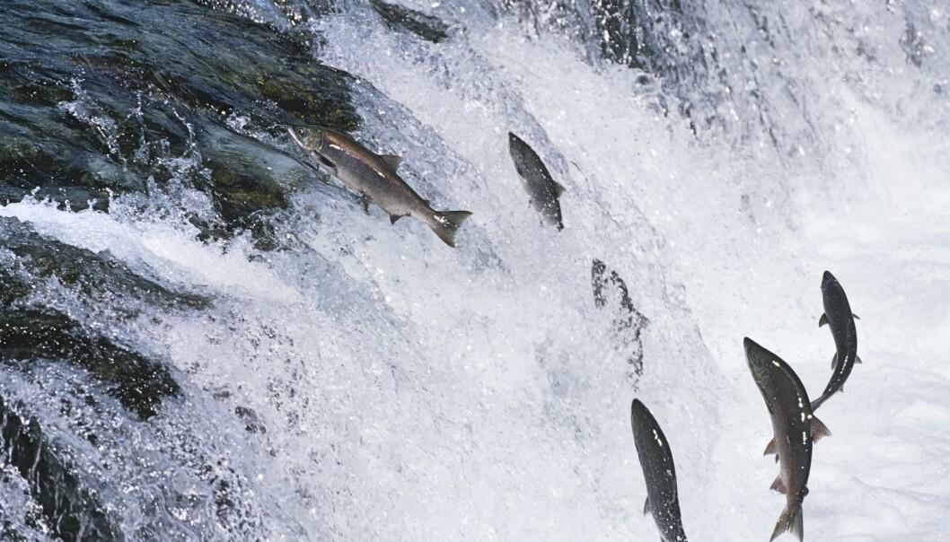 Forskere har undersøkt over 4000 laks fra 62 norske elver. Undersøkelsene viste blant annet at villaks med mye oppdrettslaks i slekta, ble kjønnsmoden tidligere enn vanlig.  (Illustrasjonsfoto: bikeriderlondon / Shutterstock / NTB scanpix)