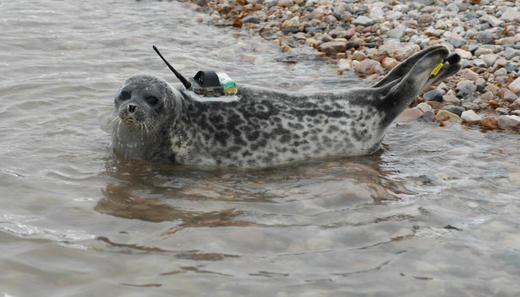 I flere måneder svømte fem ringseler rundt i Kongsfjorden på Svalbard, med målere limt fast til kroppen for å skaffe forskningsdata. Når selene skifter pels etter ett år, faller også senderne av. (Foto: Kit M. Kovacs og Christian Lydersen / Norsk Polarinstitutt)