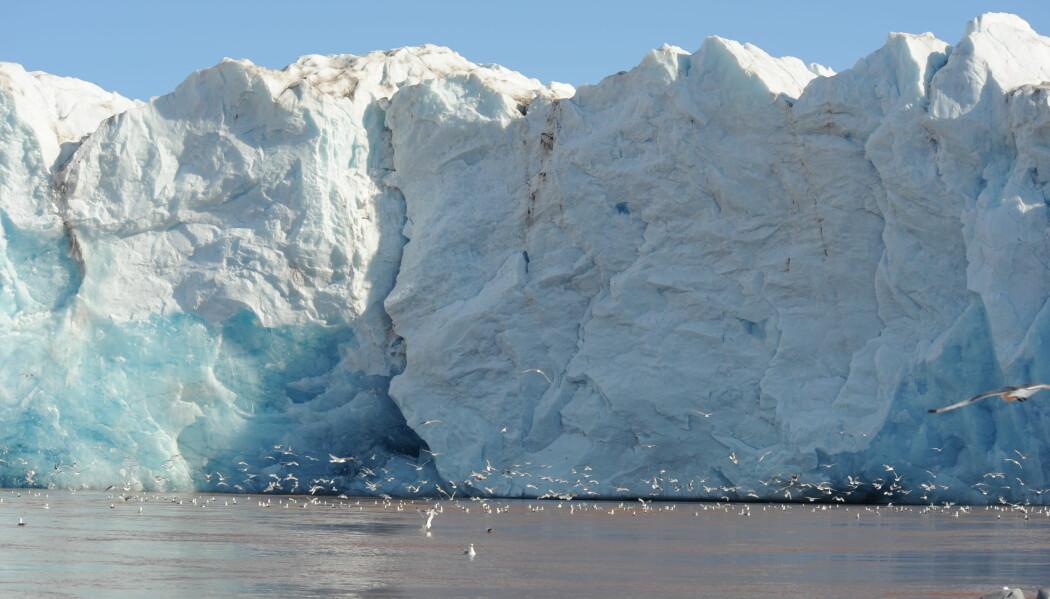Kronebreen strekker seg ut i sjøen og er et populært leveområde for sjøfugler og seler om sommeren, når breen smelter. Nå vet forskerne med sikkerhet hvorfor dyr trives så godt ved brefronten. (Foto: Geir Wing Gabrielsen, Norsk Polarinstitutt)