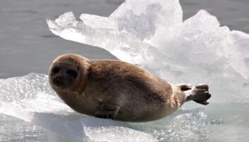 På Svalbard er det observert at ringselen på vestkysten ikke har hatt nok is for normal reproduksjon siden 2005, og forskerne antar at bestanden minker. På bildet ser vi en ringselunge på isflak foran Conwaybreen. (Foto: Geir Wing Gabrielsen / Norsk Polarinstitutt)