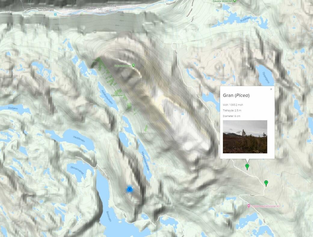 Her har en folkeforsker registrert en gran like ved Vinsjhytta på fjellet mellom Tuddal og Rjukan. (Skjermdump fra <i>Natur i endring</i>)