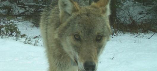 Er ulven farlig?