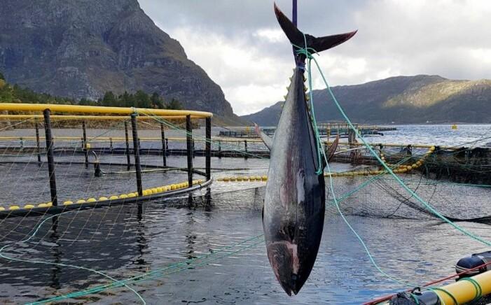 I fjor gjekk ei 286 kilo tung makrellstørje gjennom den stålforsterka nota til K. Strømmen Lakseoppdrett i Bremanger. (Foto: Karstein Bakke)
