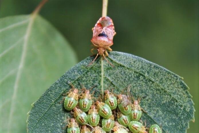 "Bjørketegen har det passende navnet ""parent bug"" på engelsk. (Foto: Shutterstock)"