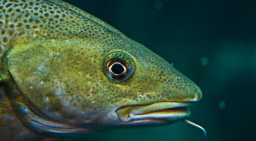 Skal undersøke om oppdrett påvirker torsken