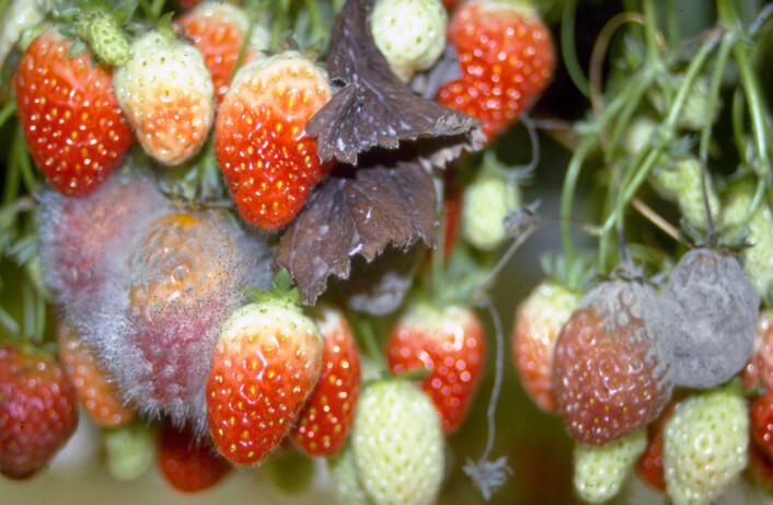 I fjor ble mange av jordbærene ødelagt at mugg og sopp. (Foto: NLH)