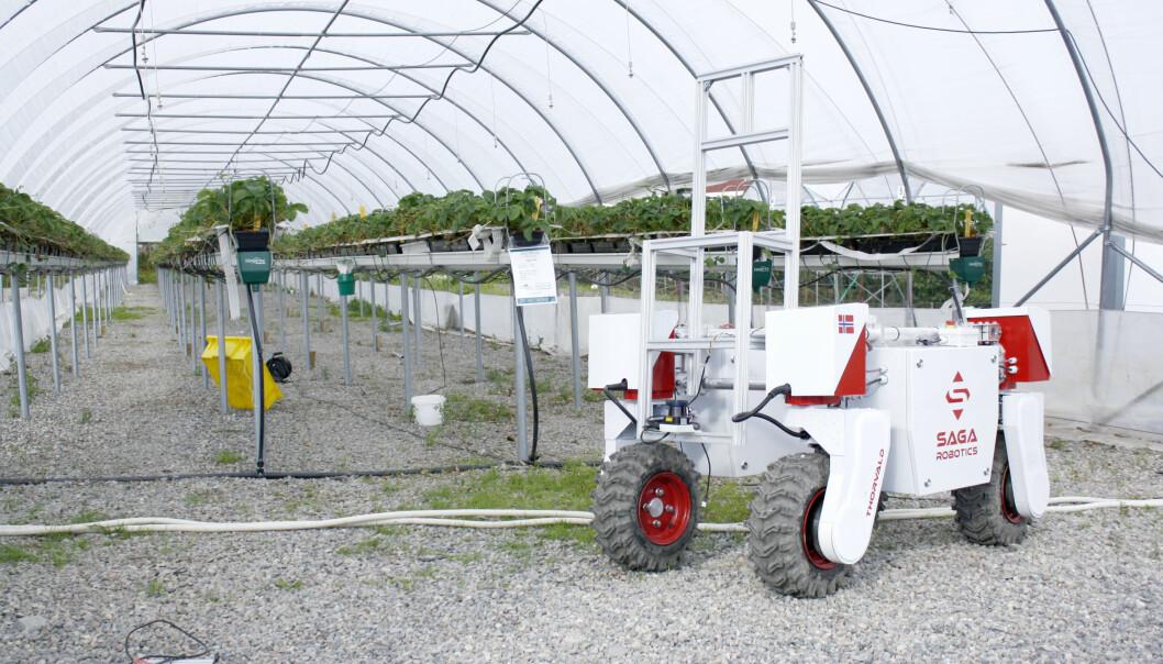 Forskere håper landbruksroboten Thorvald kan løse jordbærproblemene. Han kan nemlig overvåke og behandle bærene for mugg og sopp uten å bruke sprøytemidler. (Foto: NMBU)