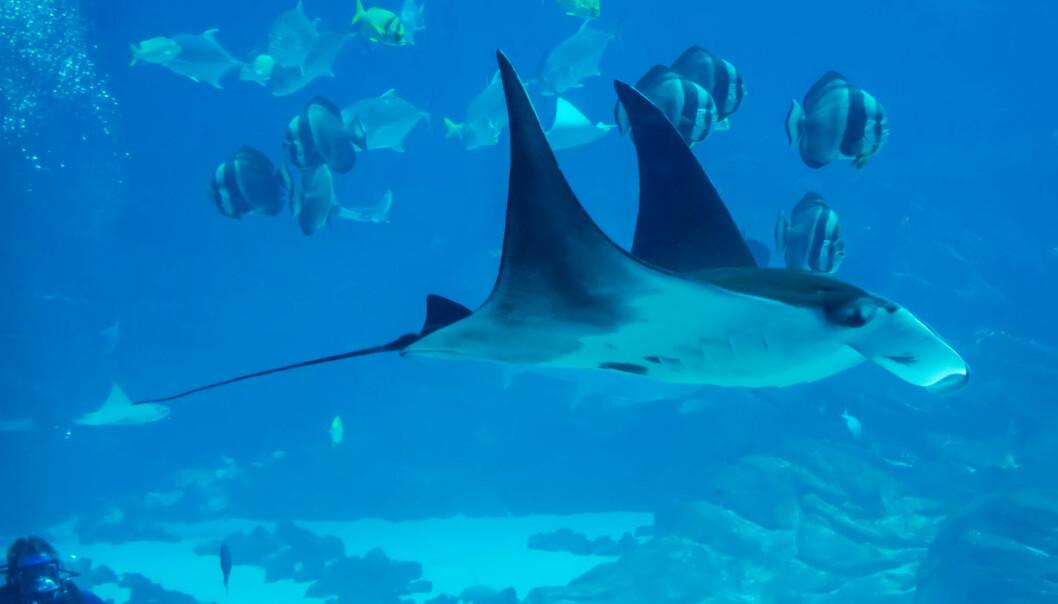 Djvelrokken kan bli over syv meter lang og trives svært godt i tropiske farvann.  (Foto: Colourbox)