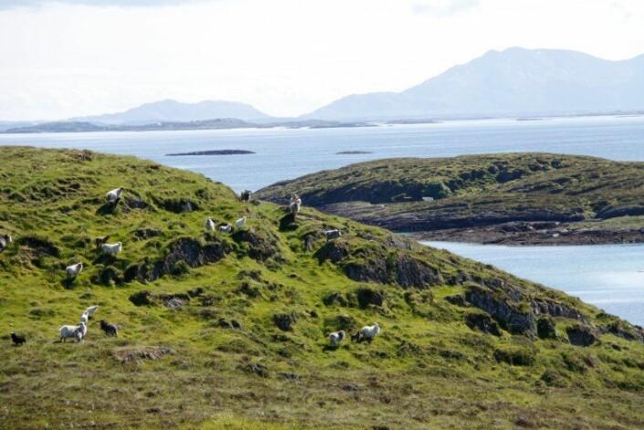 Fiskerbonden utnyttet seg av kystlyngheias potensiale som helårsbeite. Til det trengte de robuste husdyrraser, som gammelnorsk sau. (Foto: Thomas Holm Carlsen)