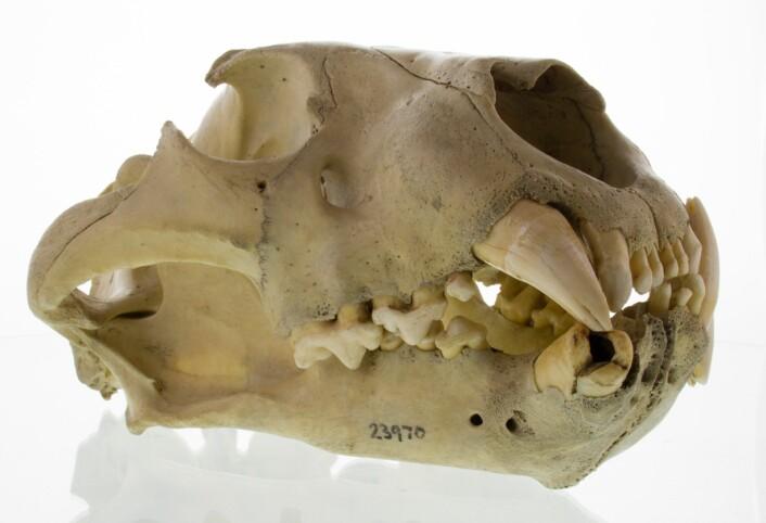 Denne hodeskallen har tydelige spor av tannsykdom, ifølge forskerne. (Foto: Bruce Patterson og J.P. Brown, The Field Museum)