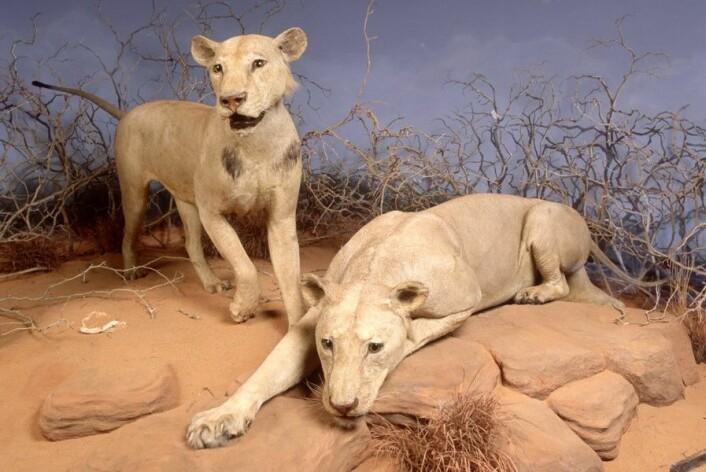 Tsavo-løvene skiller seg fra de fleste andre løver ved at hannen ikke har den karakteristiske manken. Her er de to mennskeeterne utstilt i Fields Museum i Chicago. (Foto: The Field Museum)