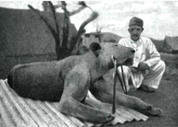 Løve nummer to ble også drept i desember 1898. (Foto: Wikimedia Commons)