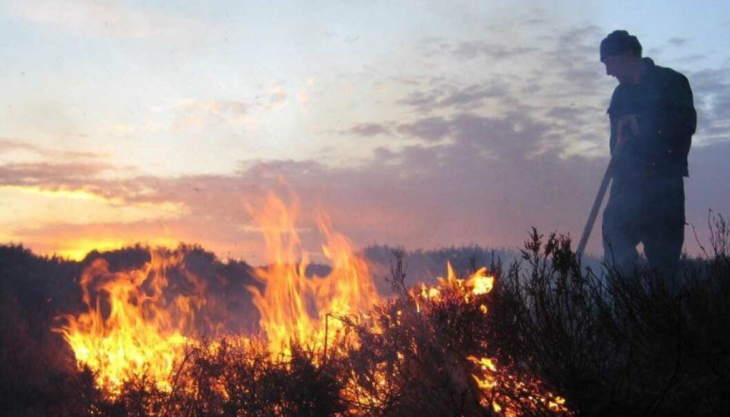 Kontrollert brenning av lyng og einer er helt nødvendig for å ta vare på beitekvalitetene i kystlyngheia. (Foto: Liv Guri Velle)
