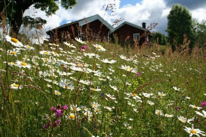 I slåttemarka får enga gjerne stå urørt til plantene står i full blomst og har satt frø. Det gir ideelle forhold for utallige insekter. (Foto: Ellen Svalheim)