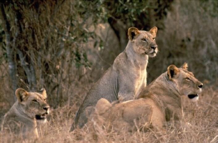 Tre av dagens løver i Tsavo har tatt en pust i bakken. (Foto: John Weinstein, Field Museum)