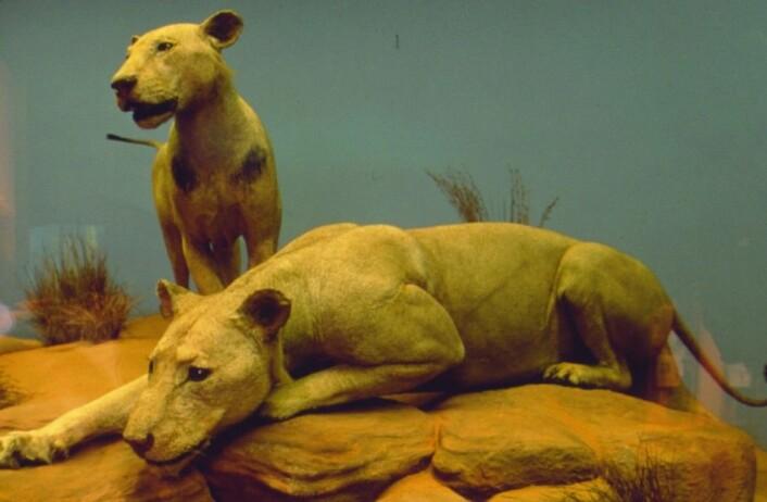 Slik er løvene utstilt i dag, der de står utstoppet i Field Museum i Chicago. (Foto: The Field Museum)