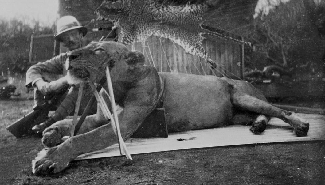 Oberstløytnant og ingeniør John H. Patterson sittende løven som ble skutt og drept 9. desember 1898. (Foto: The Field Museum)