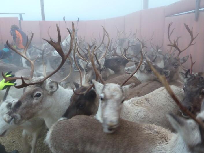 Tamrein i «silen» – her sorterer tamreineierne ut de dyra som skal slaktes. (Foto: Turid Vikøren)