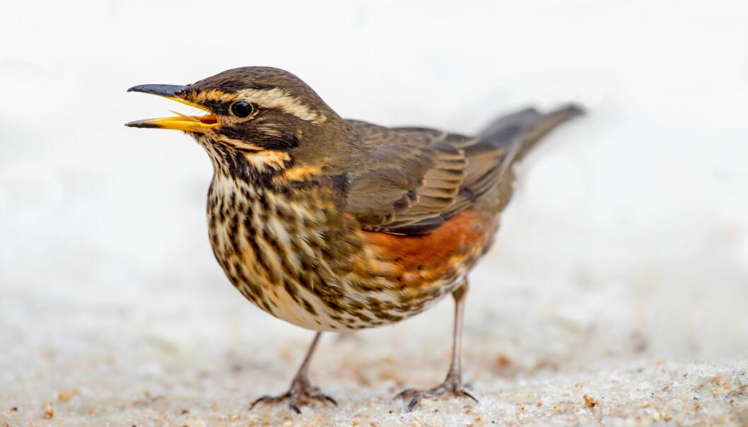 Vi mennesker oppfatter fuglesangen om våren som et vakkert tegn på at en streng vinter er overstått. Men for fuglene selv er den til dels kompliserte kvitringen sannsynligvis mer hverdagslig. (Illustrasjonsfoto: Colourbox)