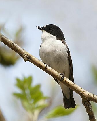 Den svarthvite fluesnapperen har blitt nøye studert av forskere. Blant annet viser det seg at noen av hannene er bigamister. (Foto: Frank Medcalf / Wikimedia commons CC BY 2.0)