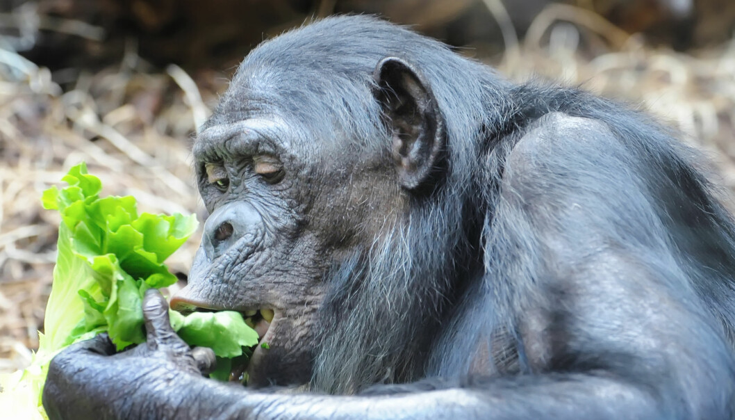 En sjimpanse bruker nesten halve dagen på å tygge – seks timer. Vi mennesker slipper unna med én time. (Foto: Nataliia Melnychuk, Shutterstock, NTB scanpix)