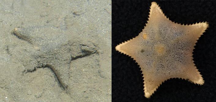 Bildet til venstre viser en muddersjøstjerne på havbunnen. På bildet til høyre kan du se hvordan en slik sjøstjerne ser ut når den ikke er dekket med mudder. (Foto: C. Wood/Mareano)