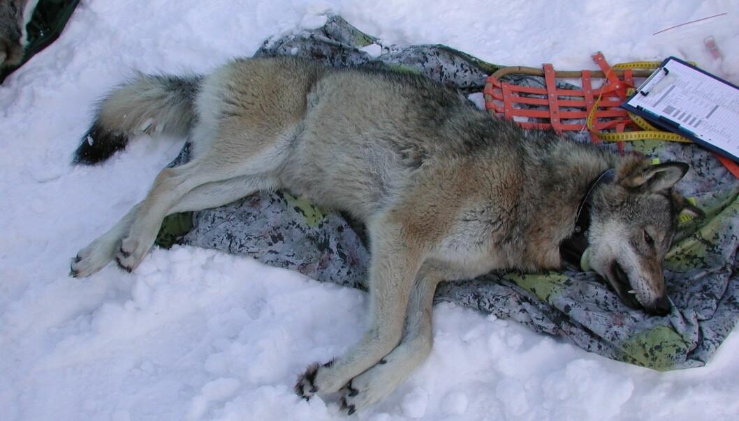 Menn som hater ulver