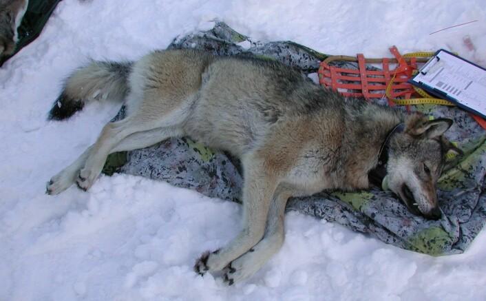 Barbara Zimmermann er førsteamanuensis og ulveforsker ved Høgskolen i Innlandet på Evenstad. (Foto: privat)