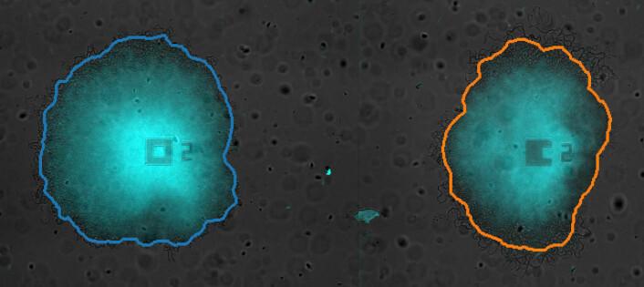 De to koloniene med bakterier fra eksperimentet. (Foto: Jintao Liu, Suel lab, University of California, San Diego)