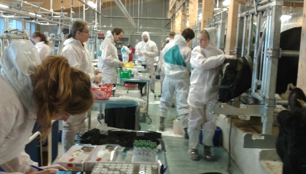 Radioaktivt fôr gjer svar om jod i mjølka