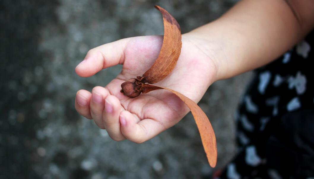 Helikopterfrøene fra det tropiske treet Dipterocarpus alatus har imponerende vinger som gjør at frøene kan fraktes langt med vinden. (Illustrasjonsfoto: Colourbox)