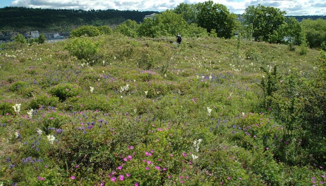 Oslo er et av områdene i landet med høyest biologisk mangfold, som her på Bleikøya. (Foto: Anders Endrestøl)