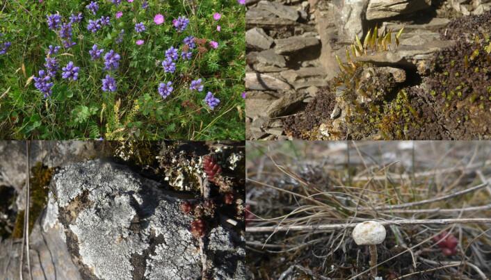 På åpen, grunnlendt kalkmark rundt Oslo finnes truede arter som blant annet dragehode, småklokkemose, kalkskiferlav og grann styltesopp. (Foto: Siri Lie Olsen)
