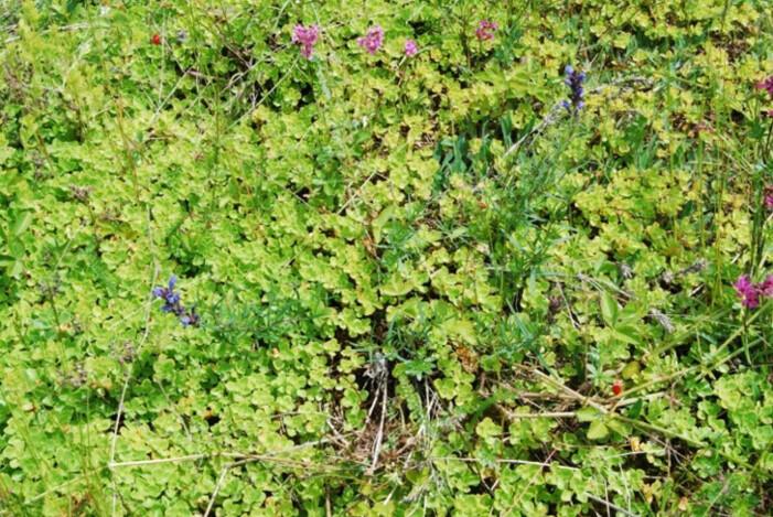 Gravbergknapp danner tette matter og kan fullstendig fortrenge andre arter, som den sjeldne og truede dragehode (med blå blomster). (Foto: Odd Stabbetorp / NINA)